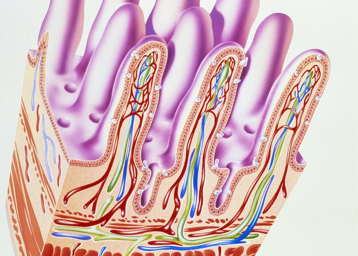 Artwork Showing Structure Of Small Intestine Villi Greeting Card For