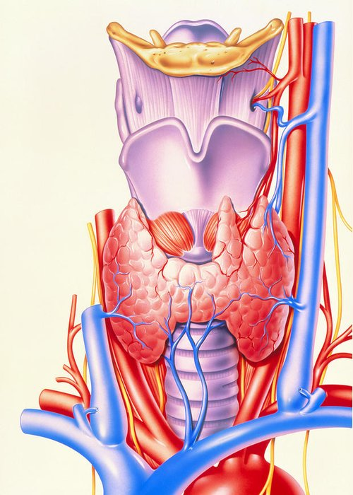 Thyroid Gland Greeting Card featuring the photograph Artwork Showing The Thyroid Gland by John Bavosi
