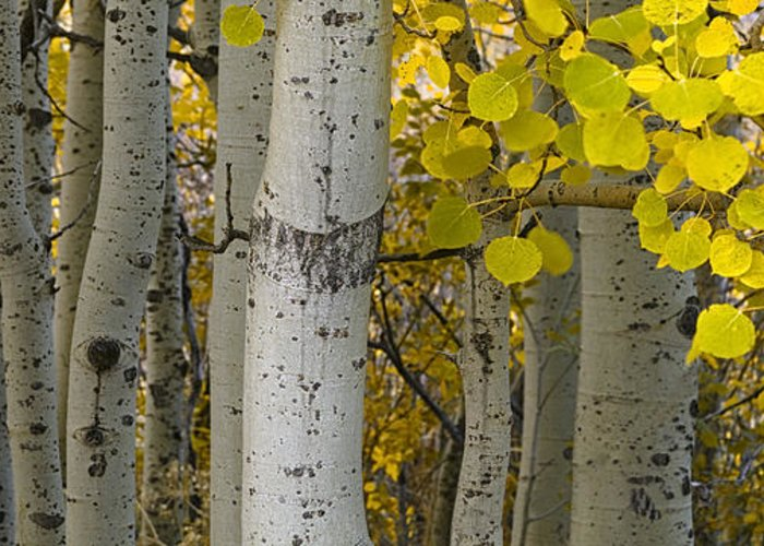 Autumn Greeting Card featuring the photograph Aspen Panorama by Andrew Soundarajan