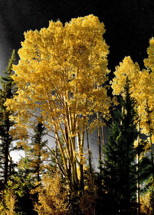 Aspens Greeting Card featuring the photograph Aspens 2 by Jim Painter