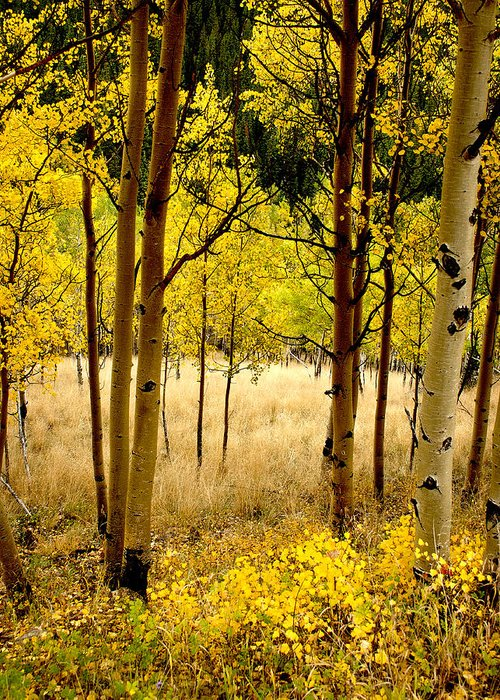 Aspens Greeting Card featuring the photograph Aspens by Jim Painter