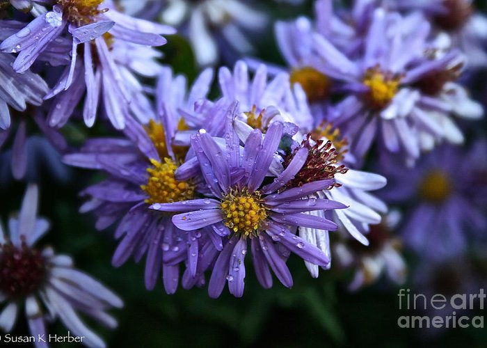 Flower Greeting Card featuring the photograph Aster Dew Drops by Susan Herber