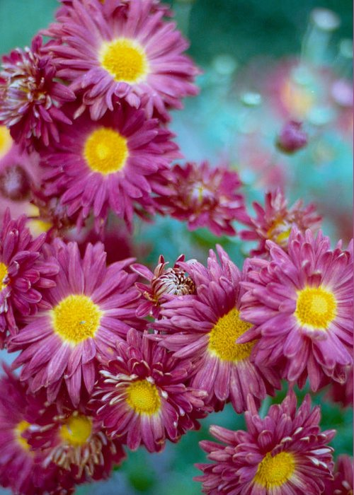 Aster Greeting Card featuring the photograph Asters by Marcio Faustino
