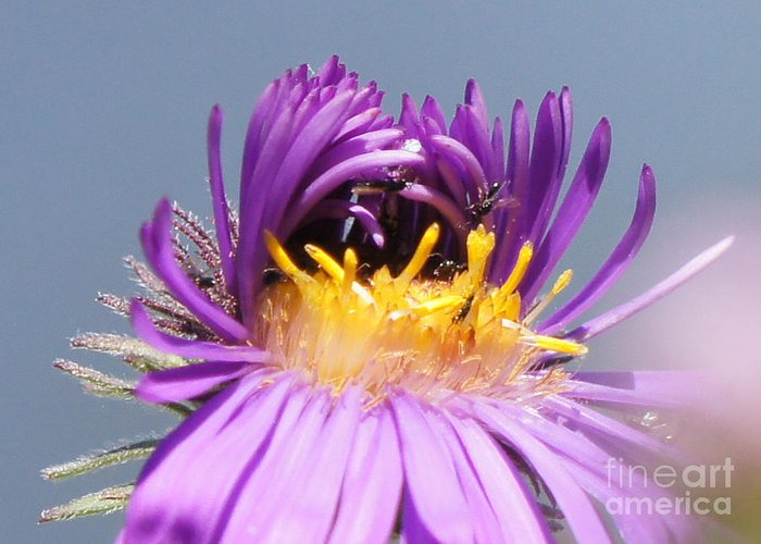 Macro Greeting Card featuring the photograph Asters Starting To Bloom Close-up by Robert E Alter Reflections of Infinity