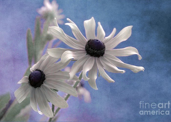 black Eyed Susan Greeting Card featuring the photograph Attachement - S09at01 by Variance Collections