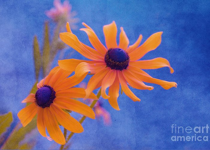 black Eyed Susan Greeting Card featuring the photograph Attachement - S11at01d by Variance Collections