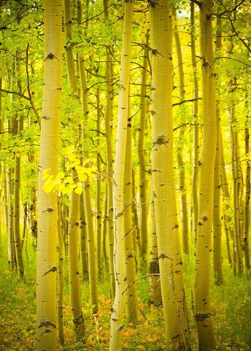 Autumn Greeting Card featuring the photograph Autumn Aspens Vertical Image by James BO Insogna