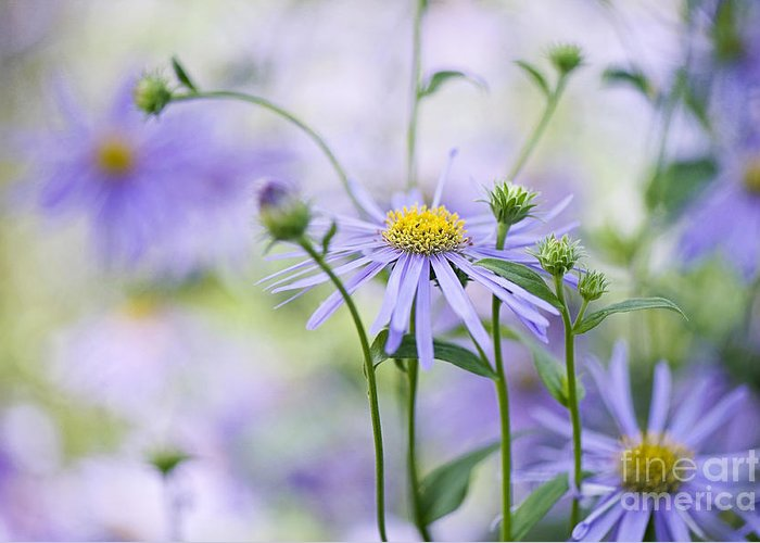 Aster X Frikartii Greeting Card featuring the photograph Autumn Asters by Jacky Parker