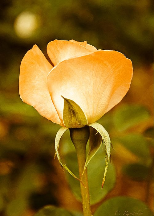 Yellow Rosebud Greeting Card featuring the photograph Autumn Rose by Cheri Randolph