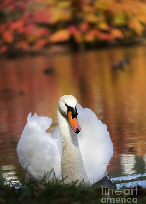 Autumn Greeting Card featuring the photograph Autumn Swan by Leslie Leda