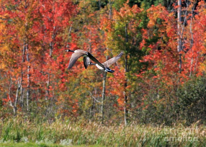 Autumn Greeting Card featuring the photograph Autumn Vermont Geese And Color by Deborah Benoit