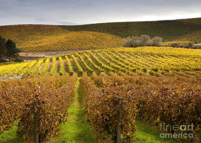 Grapevines Greeting Card featuring the photograph Autumn Vines by Mike Dawson