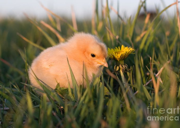 Poultry Greeting Card featuring the photograph Baby Chick In Green Grass by Cindy Singleton