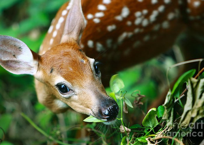 Deer Greeting Card featuring the photograph Baby Deer by Mike Kurec