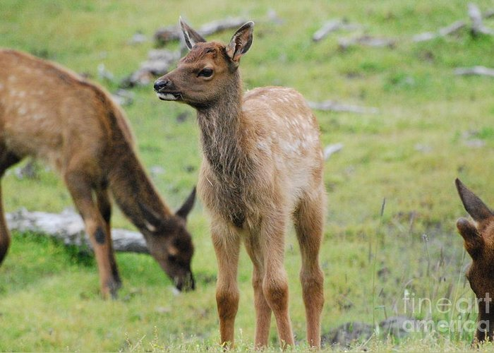 Baby Greeting Card featuring the photograph Baby Elk by Jamie Riley