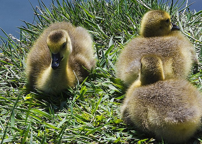 United_states Greeting Card featuring the photograph Baby Geese by LeeAnn McLaneGoetz McLaneGoetzStudioLLCcom