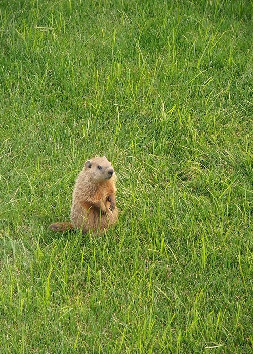 Groundhog Greeting Card featuring the photograph Baby Groundhog by Kimberly Perry