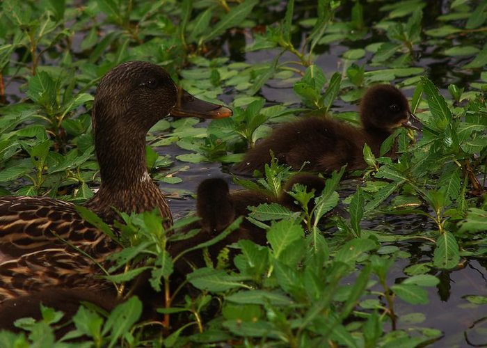 Duck Greeting Card featuring the photograph Baby Mallards by Billy Griffis Jr