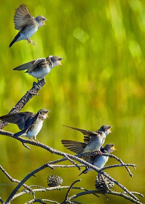 Tree Swallows Greeting Card featuring the photograph Baby Tree Swallows Feeding #1 by John Stoj