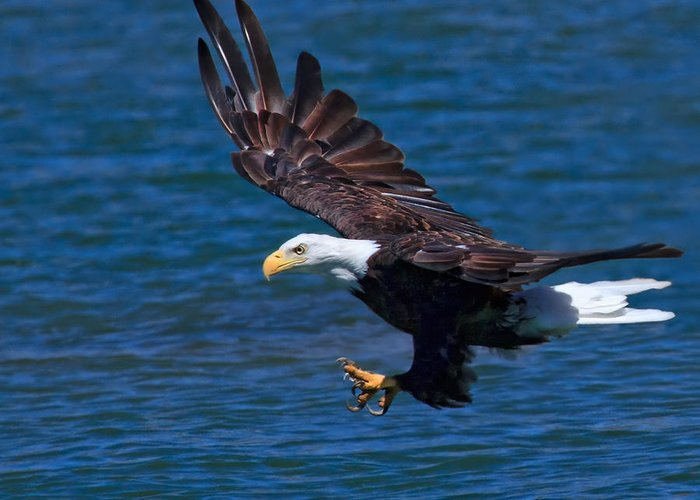 Bald Eagle Greeting Card featuring the photograph Bald Eagle On The Hunt by Beth Sargent