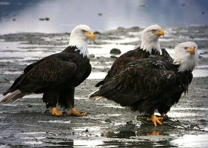 Bald Eagle Greeting Card featuring the digital art Bald Eagle Trio by Carrie OBrien Sibley