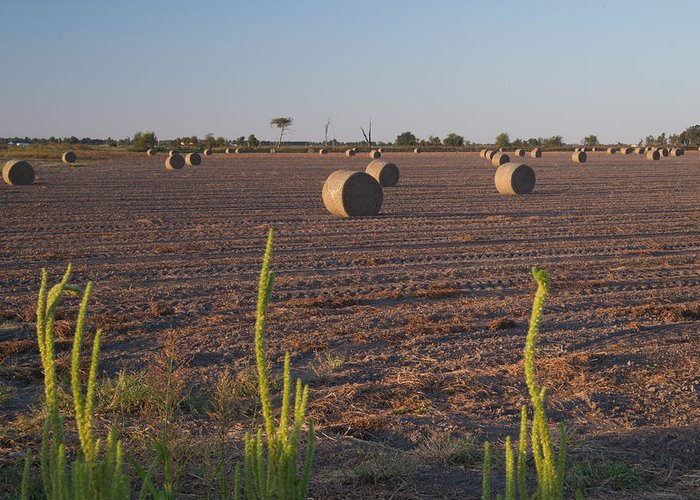 Peanut Greeting Card featuring the photograph Bales In Peanut Field 12 by Douglas Barnett