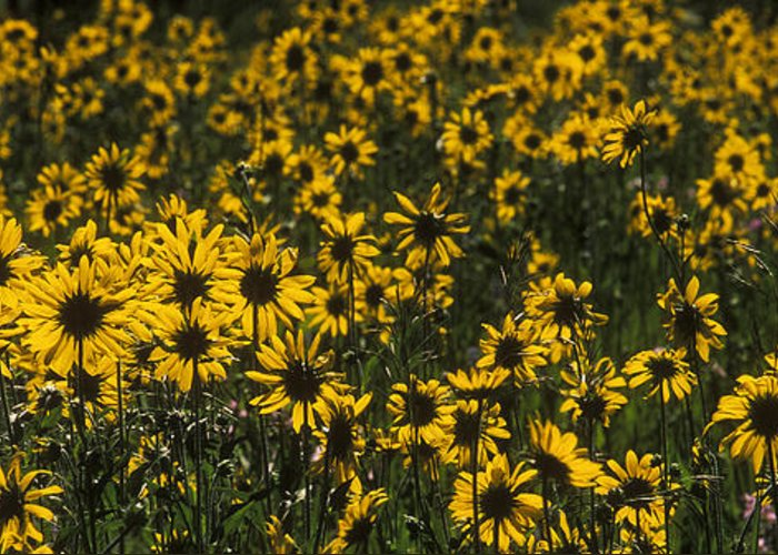 Bronstein Greeting Card featuring the photograph Balsamroot Field In Grand Teton by Sandra Bronstein