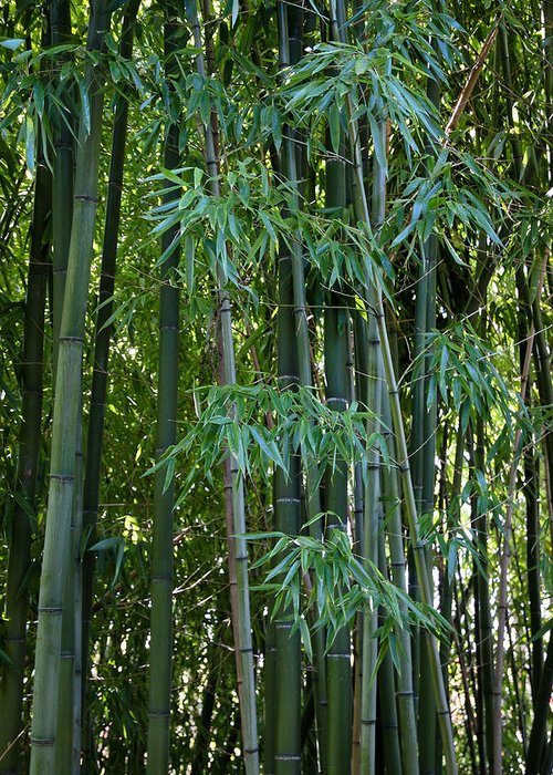 Bamboo Greeting Card featuring the photograph Bamboo Tree by Athena Mckinzie