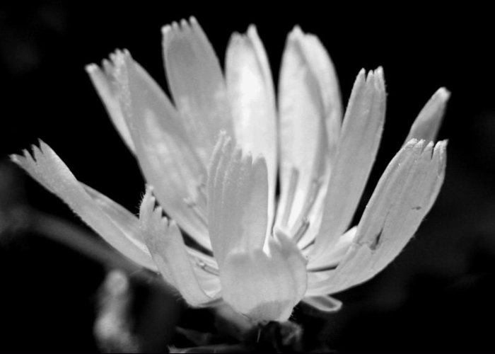Black And White Greeting Card featuring the photograph Barb Flower by Amara Roberts