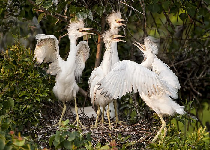Little Blue Heron Chicks Greeting Card featuring the photograph Barbershop Quartet by Bonnie Barry