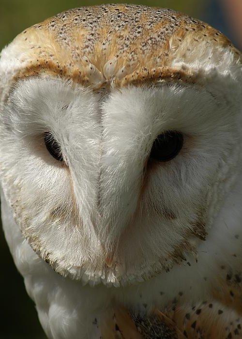 Barn Owl Greeting Card featuring the photograph Barn Owl Portrait by Sandra Cockayne