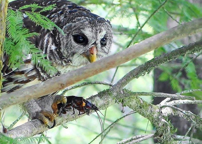 Barred Owl With Crawfish Greeting Card featuring the photograph Barred Owl With Crawfish by Betty Berard