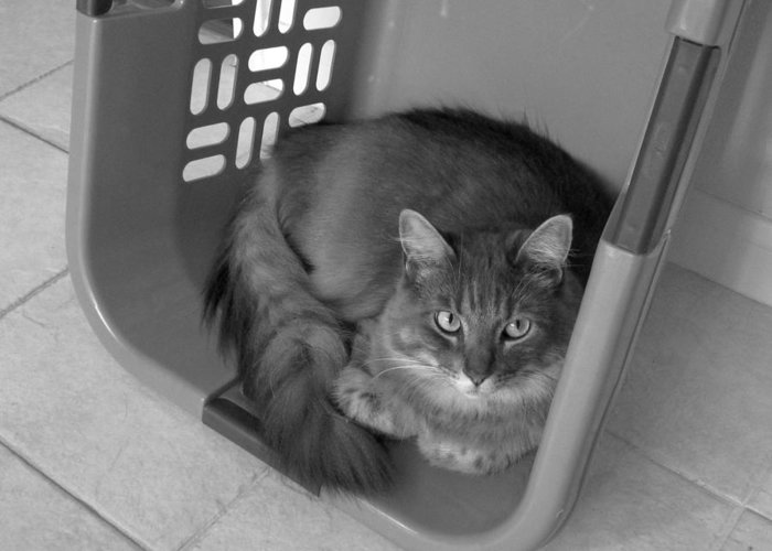 Cats Greeting Card featuring the photograph Basket Case by Mike Witte