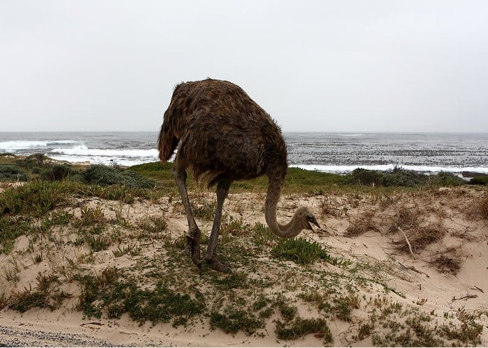 Ostrich Greeting Card featuring the photograph Beach Bird by Aidan Moran