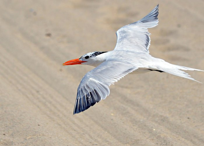 Tern Greeting Card featuring the photograph Beachcomber by Fraida Gutovich