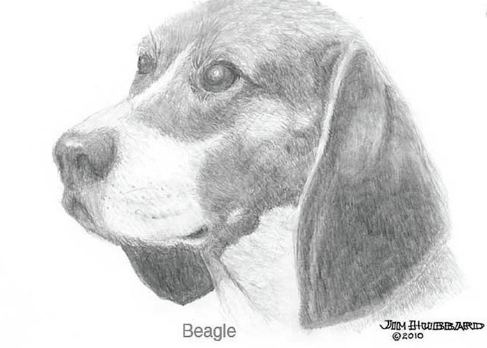 Dogs Greeting Card featuring the drawing Beagle by Jim Hubbard