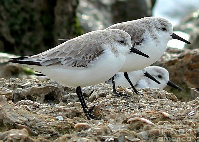 Sanderlings Greeting Card featuring the photograph Beaks And Legs by Theresa Willingham