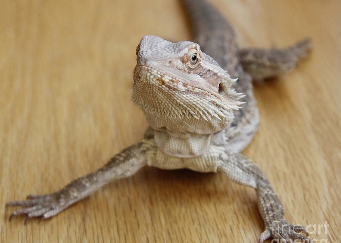 Bearded Dragon Greeting Card featuring the photograph Bearded Dragon by Krista Kulas