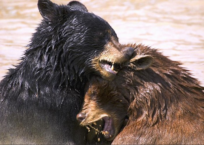 Aggression Greeting Card featuring the photograph Bears In Water by Carson Ganci