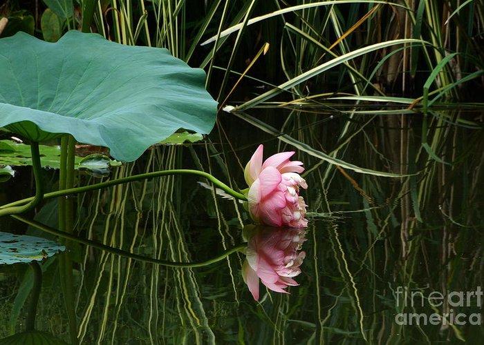 Nelumbo Lutea Nucifera Greeting Card featuring the photograph Beautiful Fallen Lotus by Byron Varvarigos