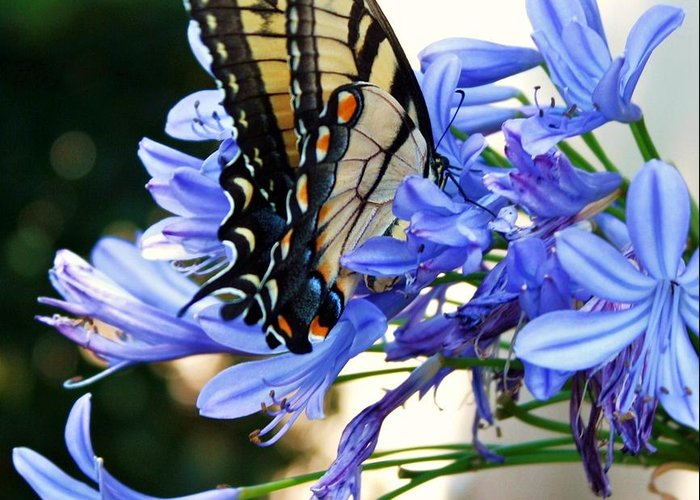 Swallowtail Butterfly Greeting Card featuring the photograph Beautyrest by LC Linda Scott