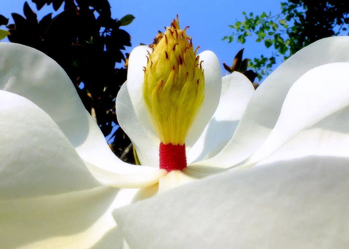 Magnolias Greeting Card featuring the photograph Bed Of Magnolia by Karen Wiles