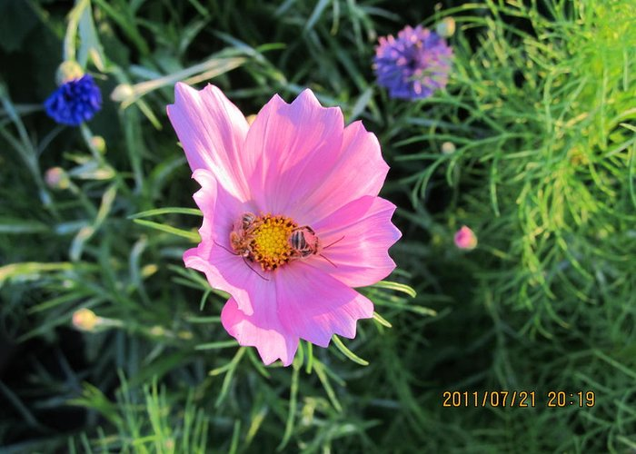 Bees Greeting Card featuring the photograph Bees Favorite Flower Two by Tina M Wenger