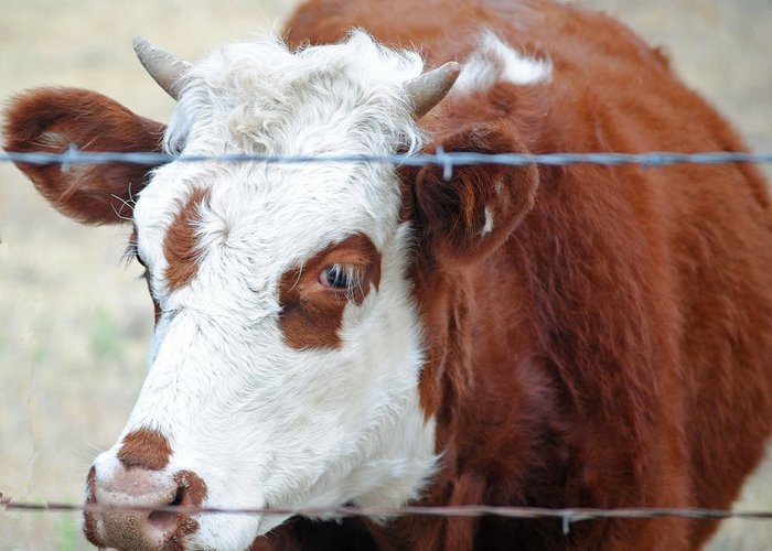 Cow Greeting Card featuring the photograph Behind Barbs by Lisa Moore