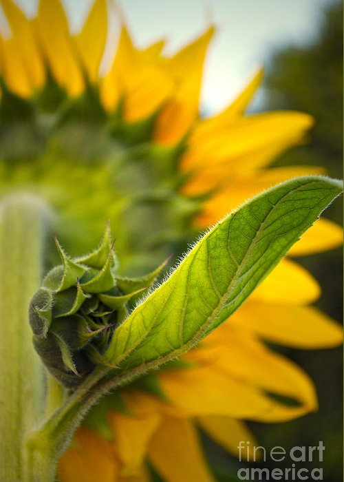 Sunflower Greeting Card featuring the photograph Behind My Back by Gwyn Newcombe