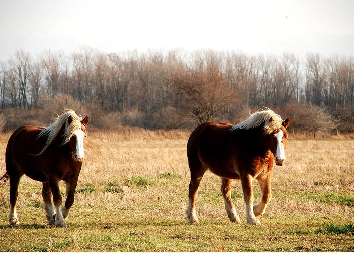Horse Greeting Card featuring the photograph Belgian Giants by Jacqueline Kinsey