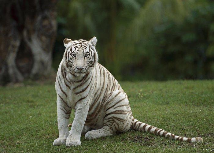 Mp Greeting Card featuring the photograph Bengal Tiger Panthera Tigris Tigris by Konrad Wothe