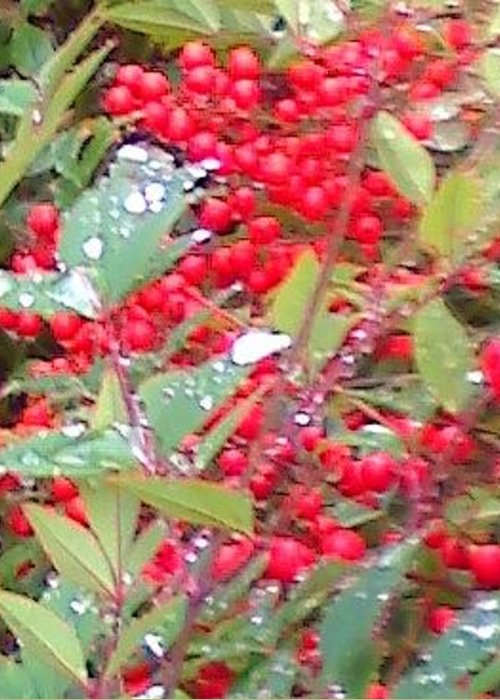 Berries On Rain Greeting Card featuring the photograph Berries On Rain by Douglass Reynolds