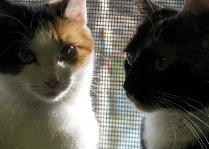 Calico Cats Greeting Card featuring the photograph Best Friends by Betty Berard