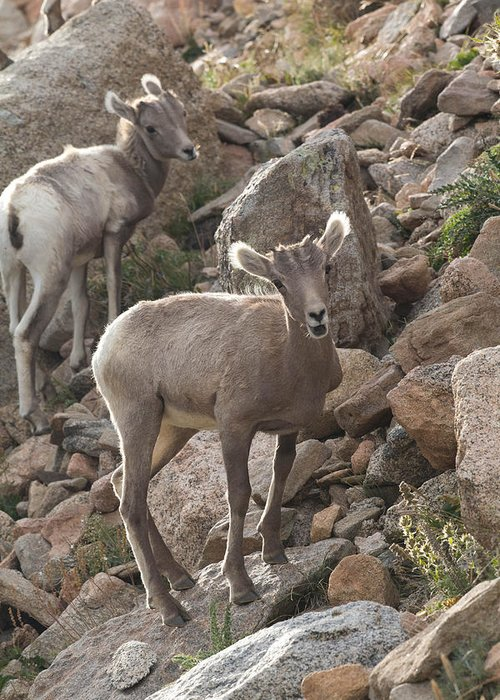 Bighorn Sheep Greeting Card featuring the photograph Big Horn Lambs by Nathan Mccreery